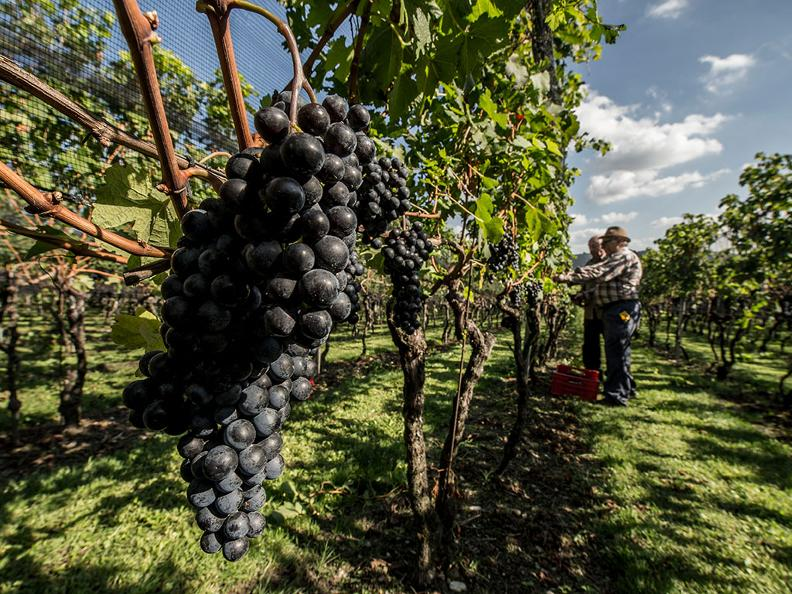 Image 0 - Grape Harvest in the Mendrisiotto Region