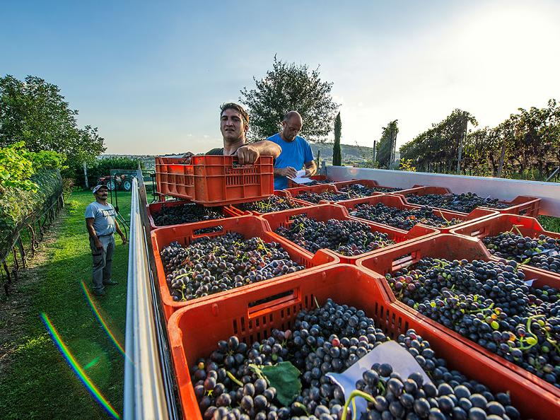 Image 7 - Grape Harvest in the Mendrisiotto Region